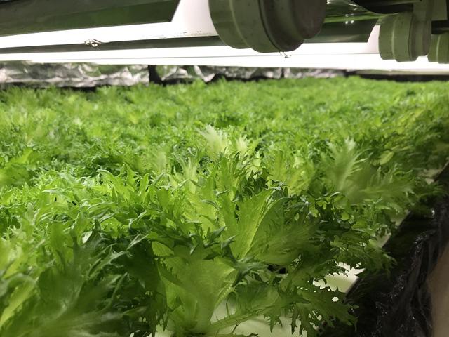 p01_02_frill-lettuce