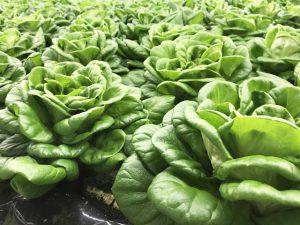 サラダ菜の栽培の様子