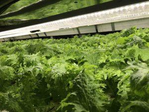わさび菜の栽培の様子